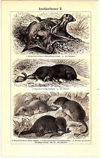 1908 Insectivore,European Hedgehog,Elephant-Shrew,L arge Treeshrew Antique Print