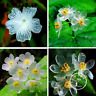 100 PCS Seeds Transparent Flowers Bonsai Delicate Garden Flowers Plants 2019 New