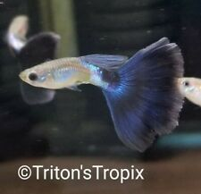 New listing *Triton'S Tropix* Show Qlty Young Platinum Blue Bicolor Hm Pair + 1 Young Free*