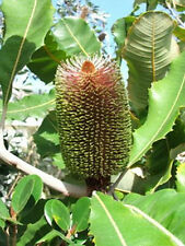 """Strong"" Banksia ( Banksia Robur)  - 25 Seeds"
