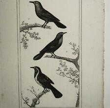 Pie-Grièche à Plastron noir, Merle à ventre blanc Gravure Oiseaux circa 1800