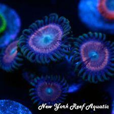 New listing New York Reef Aquatic - 0523 C6 Wild Indo Zoanthid Wysiwyg Live Coral
