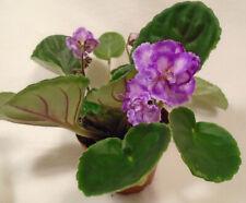 African violet A Day In April / Aprel' Skii Danik live plant in pot