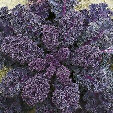 Vegetable Borecole Scarlet Kale Appx 1200 seeds