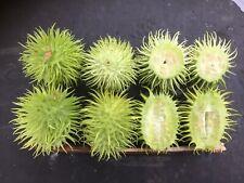 DECORATIVE CUCUMBER - 20 seeds - cucumis hirsutus - Exotic vegetable