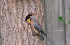 "Nesthole - Wooden Bird House Size: 1 1/8"" - 1 1/4"" (S) Type A"