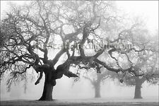 B&W LIMITED EDITION PHOTOGRAPH / '3 TREES IN THE MIST' / SONOMA CO, CA / 22 X 33