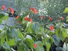 Scarlet Runner Beans Fresh  Organic NON GMO Bean 25  Seeds
