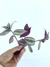 3 cuttings of Tradescantia zebrina, Wandering Jew, Plant cuttings (3), Tricolor