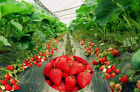 Red Plants Fruit Seed Bulbs Home & Garden Fruit Climbing 100pcs Seeds Strawberry
