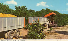 postcard USA  Florida  oranges by the truckloads   un posted