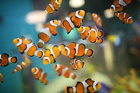 Live Baby Clownfish