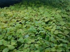 Red Root Floaters Live Floating Plant (Phyllanthus fluitans) Snack Bag Portion
