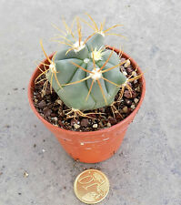 Ferocactus Latispinus spiralis SB 547 totolapan