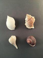 """Specimen Sea Shells Four Assorted 1.5"""""""" to 2.5"""""""