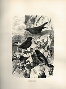 Antique 1898 B&W Lithograph Redstarts J G Wood Animate Creation Natural History