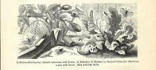 Stampa antica INSETTI Athalia spinarum e Hylotoma rosae 1891 Old antique print