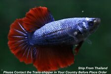 Red Blue female Halfmoon Tropical betta fish #B175/ body size 1.5''