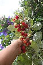 "Red Raspberry""Heritage""  Seeds x  15. Two crops - spring and autumn."