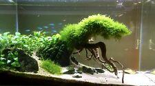 Java Moss portion Vesicularia dubyana Aquatic Live Aquarium Plants