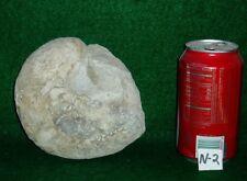 "Nice Size, Rare 5-3/4"" Texas Fossil Nautilus, ,Dinosaur Age, Cretaceous-N-2"