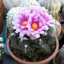 10pcs Cactus seeds Ariocarpus fissuratus