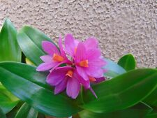 Rare Dendrobium Hibiki orchid plant FS orchid  in bloom