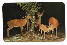 Vintage Animal Chrome Postcard This Young Un Gets Attention Older Deer Family