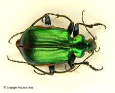 Calosoma aurocinctum - male, very beautiful!
