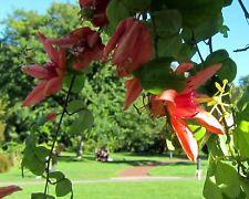 7 Samen Passiflora aurantia - Passionsblume - Passionflower seeds