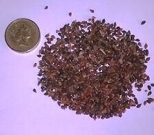 Serbo abete rosso, Picea omorika CONIFERA ALBERO di NATALE e ALBERO BONSAI 25 semi.