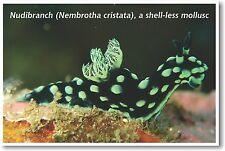 Nudibranch Mollusc - NEW Animal Wildlife POSTER