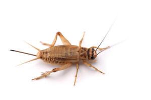 Live Crickets (Acheta Domestica)-Includes 2 Day Shipping
