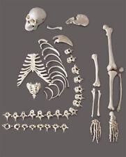 Human Skeleton/Skeletons Disassembled, 1/2 complete