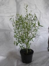 Willow Corkscrew, Contorted, Twisted Willow Tree Plant 40 - 60cm. inc. Pot