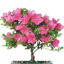 Azalea Bonsai Tree 5 Year Fully Rooted Blooming Satsuki Hardy Outdoor 1 Gal Pot
