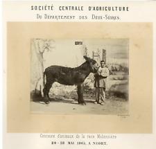 Bourgoin. France, Niort, Concours d'animaux de la race Mulassière  Vintage