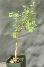 Acacia Burkei Tree Succulent Bonsai drought tolerant