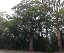 White Stringybark  (Eucalyptus Globoidea)  100 Seeds