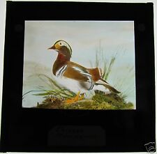 COLOUR Glass Magic Lantern Slide CHINESE MANDARIN DUCK C1900 BIRDS