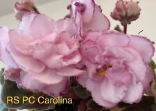 African Violet Rs Pc Carolina; behaved girl leaves; semi; in bloom