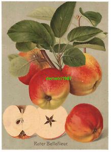 Chromolithographie Roter Bellefleur Apfel Pomologie Sorte Vintage Print