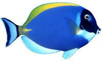 Framed Print - Tropical Fish – Deep Blue Angelfish (Picture Poster Aqua Art)
