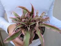 Crytanthus Bromeliad Ruby Earth Star Plant