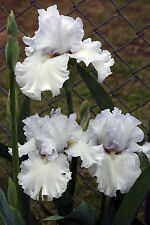 "TALL BEARDED IRIS GERMANICA ""WINTERFEST"" by Schreiner Delivery August/September"