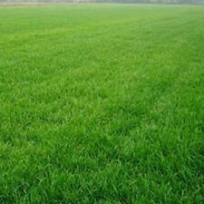10000pcs Tall Fescue Green Grass Seed Festuca Arundinacea Lawn Field Turf