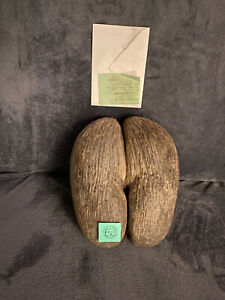 COCO DE MER NUT FROM SEYCHELLES (WITH LICENCE)