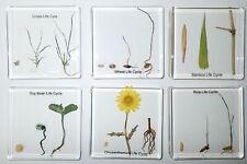 6 Plant Simplified Life Cycle Set Wheat Rice Bean Grass Bamboo Chrysanthemum