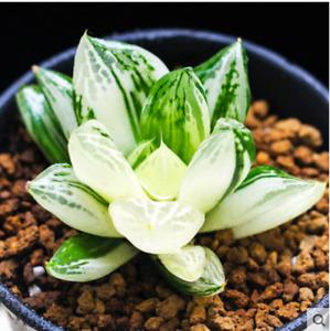 Haworthia variegata Obtusa Hybrid Succulent potted Home Garden Bonsai Plants