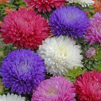 Kings Seeds - Aster Duchess Mixed -  200 Seeds